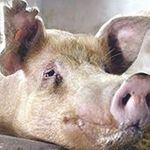 Swine Fever Will Take Around Two Years To Be Completely Controlled