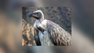 Vultures often fly up to 150 km daily for food: Study reveals